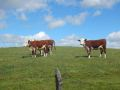 cows-650