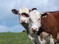 cows2-650